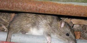 mengusir tikus di mesin mobil